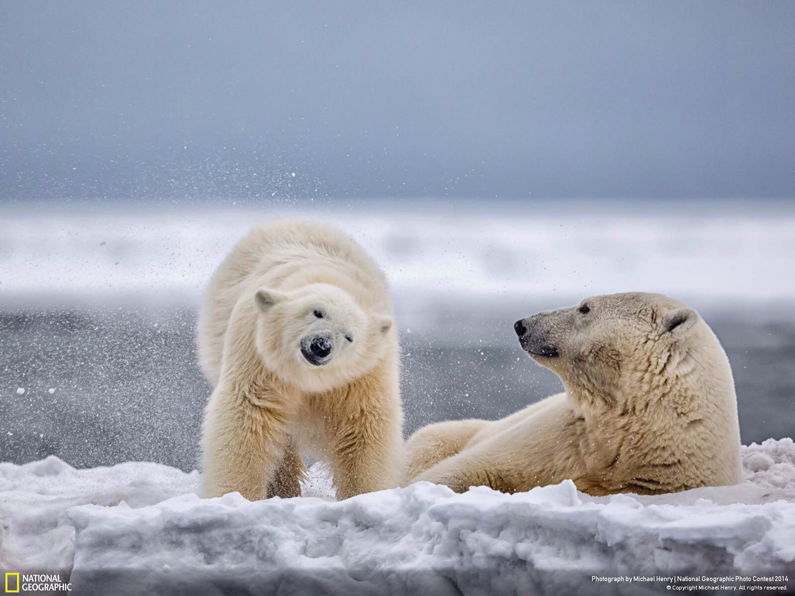 Polar Bear and Cub. Photo by Michael Henry.
