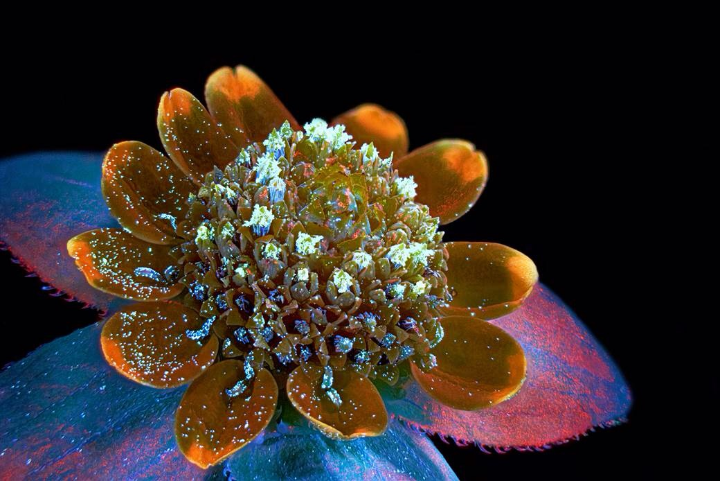 Photo of a butter daisy flower by Oleksandr Holovachov of Ekuddsvagen, Sweden (7th place in competition).