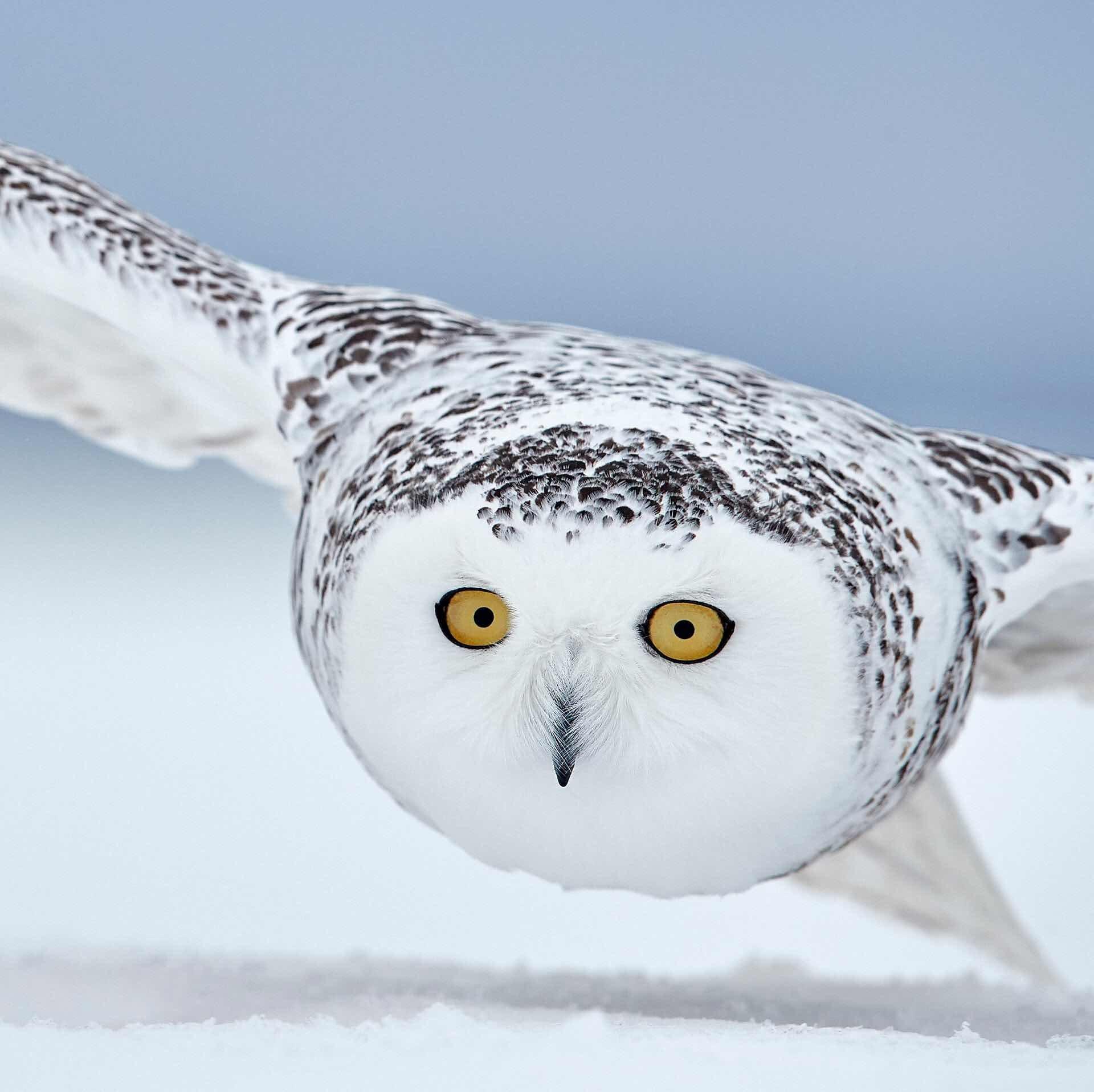 Snowy owl, CanadaPhoto: Markus Varesvuo