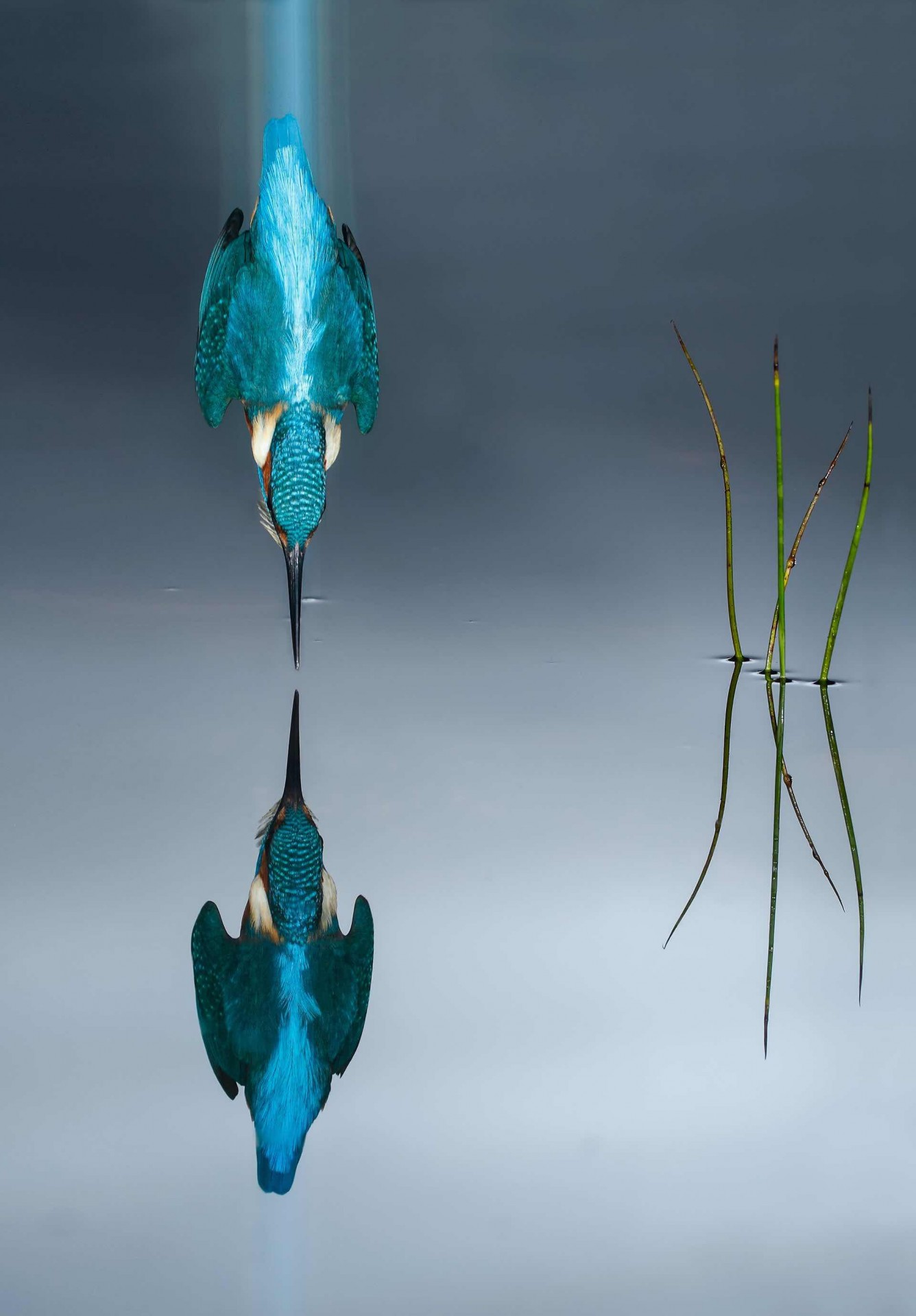 Kingfisher diving, SpainPhoto: Mario Cea Sanchez